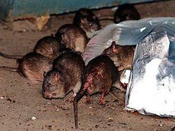 Популяция крыс в Нью-Йорке превысила число жителей Большого Яблока