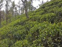 Пейте зеленый чай, он укрепляет кости – китайские ученые