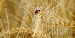 Минэкономразвития обещает рост зернового урожая в Украине