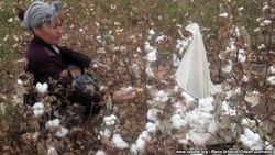 В Узбекистане учителям приказали и хлопок на поле собирать, и одновременно вести занятия