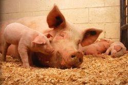 Свиньи станут донорами органов для людей
