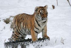Более 20 амурских тигров убили браконьеры на Дальнем Востоке в этом году