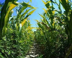 Кукурузное поле чуть не стало могилой