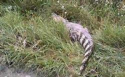 Сбежавший в Екатеринбурге крокодил обзавелся аккаунтами в соцсетях