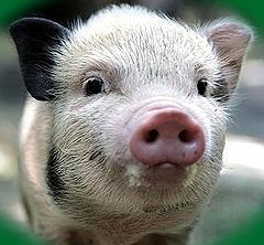 Трейдеры ожидают роста на рынке свинины