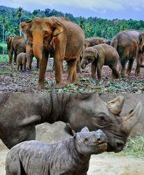 Слоны и носороги вымрут через 20 лет