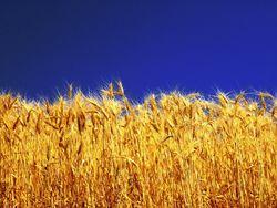 Обзор рынка пшеницы: погода практически не влияет на цену