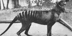 В Австралии обнаружили считавшихся вымершими тасманийских волков