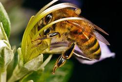 Убытки от исчезновения пчел составят 15 млрд. долларов в год