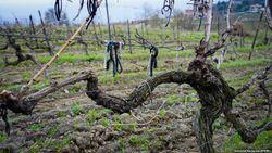 Виноградарство в Крыму загибается