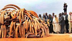 Зимбабве требует отмены международного запрета на торговлю слоновой костью