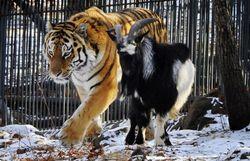 Козел Тимур выселил тигра Амура из его убежища