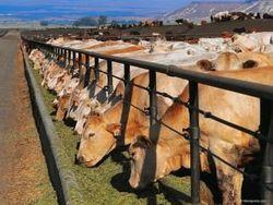 Цены на фьючерс крупного рогатого скота достигли максимумов - трейдеры