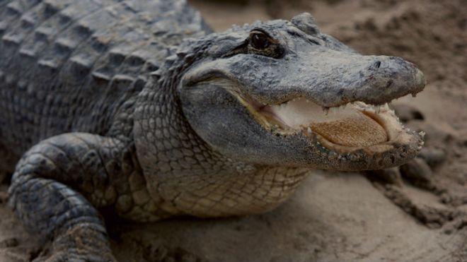ВоФлориде поймали утащившего двухлетнего ребенка под воду аллигатора