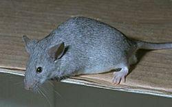 Ученые США научились лечить ожирение пока у мышей