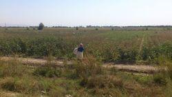 Учителей и медиков в Узбекистане отправляют на хлопок без предупреждения