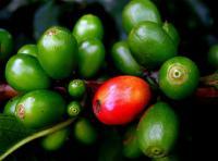 Ученые о благотворном влиянии зерен зеленого кофе на организм человека