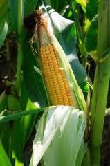 МСХ США снизило прогноз урожая кукурузы для стран ЕС