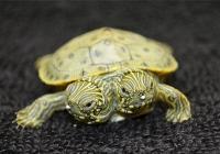 В Facebook появилась страница двухголовой черепахи