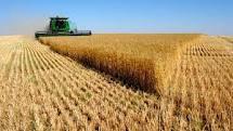 Прогноз по урожаю пшеницы в мире снижен