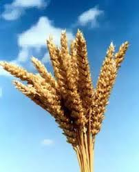 Нигерия откажется от импортной пшеницы