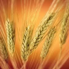 На прошедшей торговой неделе пшеница в США слегка скинула