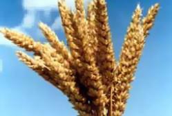 Посевная кампания мягкой пшеницы во Франции приближается к завершению