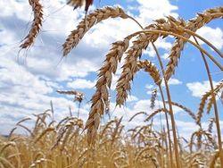 поставки пшеницы