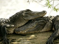 Уроки безопасности: сторожевые крокодилы вместо псов