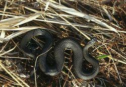 Ядовитые змеи атакуют людей в курортных Карпатах, есть жертвы