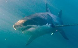 Туристам: В Бразилии на пляже Ресифи акула откусила ногу купальщице