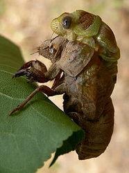 Восточное побережье США оккупируют сотни миллиардов цикад