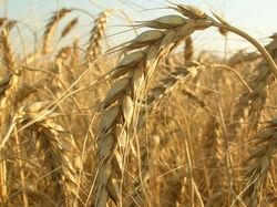 Сентябрьский экспорт пшеницы из Австралии понизился до 1,7 млн. тонн