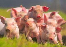 Рынок свинины под влиянием разнонаправленных факторов