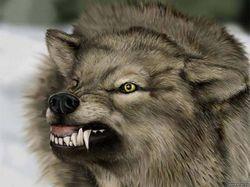 В Ровенской области волк напал на 13- летнего ребенка