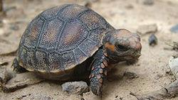 Черепаха прожила без еды 30 лет