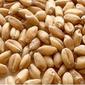 Трейдерам: низкие объемы экспорта пшеницы являются фактором снижения цены