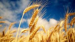 Украинскими фьючерсами на пшеницу начнут торговать в Чикаго