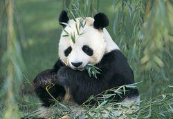 Ученые: дикие панды в опасности из-за изменения климата