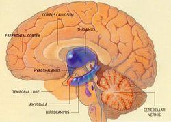 """Ученые нашли """"эндокринный центр"""" мозга, регулирующий старение"""