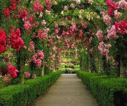 Киевлянам и туристам поднимать настроение будут сады из роз
