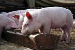 Инвесторам: цены на свинину в мире показывают рост
