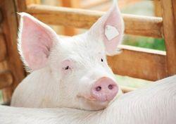Цены на свинину достигли минимальных значений