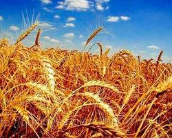 Эксперты о росте цен на пшеницу