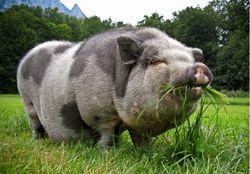 Инвесторам: на рынке свинины преобладают медвежьи настроения
