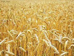 Трейдеры в ожидании отчетов USDA по рынку пшеницы