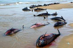 Экологи: мор дельфинов под Крымом совпал с военными учениями