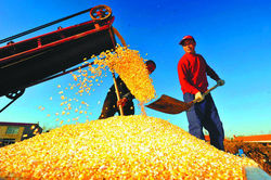 Рекордная урожайность кукурузы зафиксирована в Китае