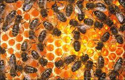 Ученые назвали укусы пчел полезными