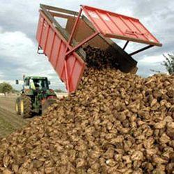 Кубанские аграрии завершают уборку сахарной свеклы